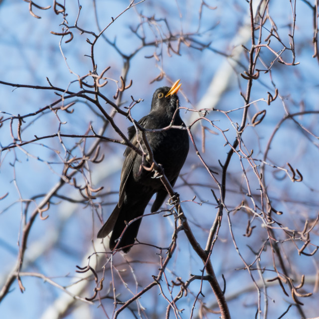 """""""Male Blackbird singing from a tree"""" stock image"""