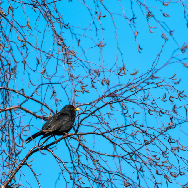 """Singing Blackbird sitting in a birch tree - a beautiful springtime sign"" stock image"
