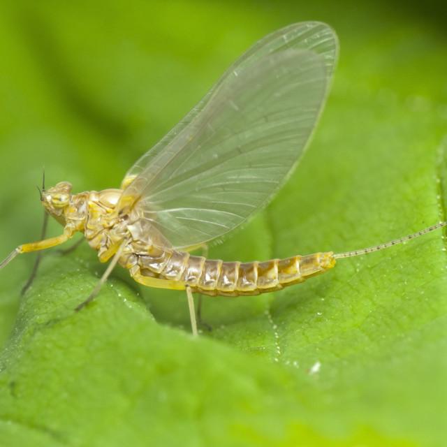 """""""Mayfly (Ephemeroptera) close-up"""" stock image"""