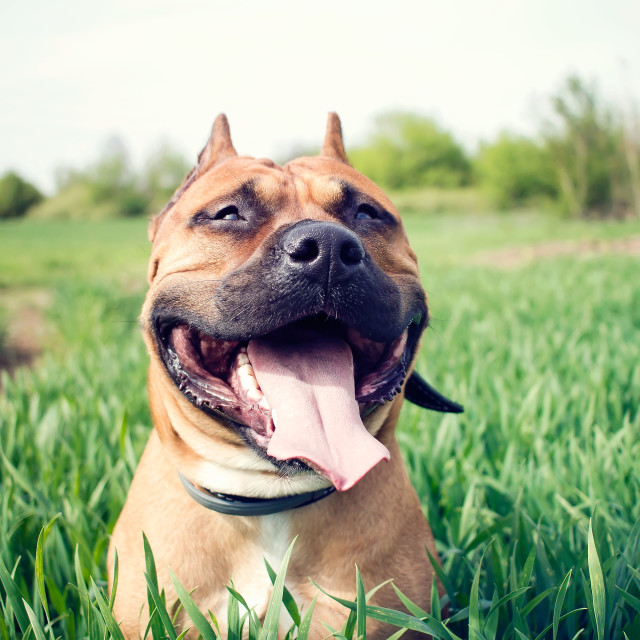 """""""American staffordshire terrier"""" stock image"""