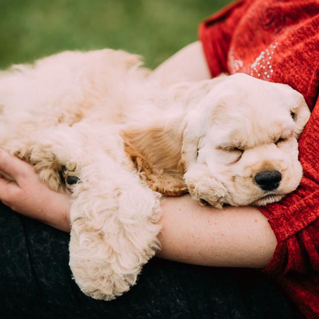 """White American Cocker Spaniel Dog Sleeping On Woman's Hand"" stock image"