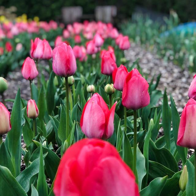 """""""Spring Tulip Flowers"""" stock image"""