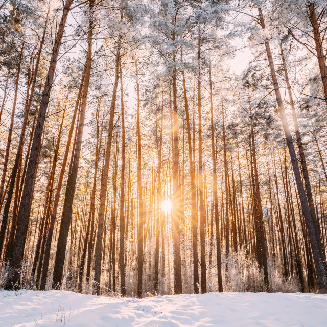 """Beautiful Sunset Sunrise Sun Sunshine In Sunny Winter Snowy Coniferous Forest"" stock image"