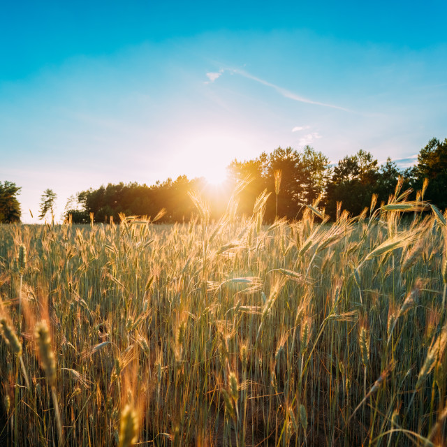 """Summer Sun Shining Over Agricultural Landscape Of Green Wheat Field. Young..."" stock image"
