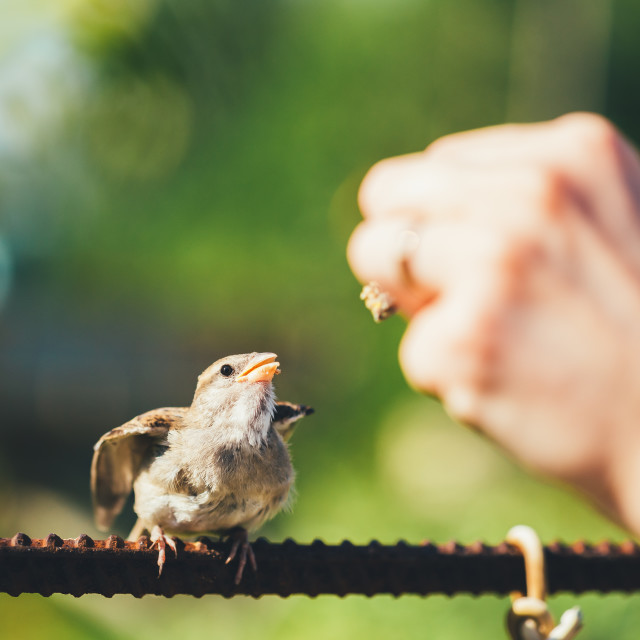 """Feeding Of Young Chick, Bird House Sparrow Yellow-beaked"" stock image"