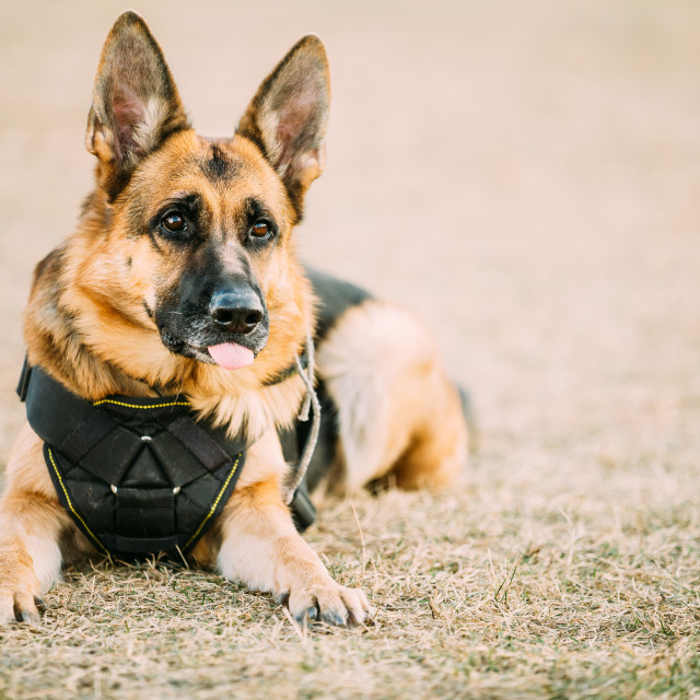 """Brown German Sheepdog Alsatian Wolf Dog Wearing In Special Training Clothes"" stock image"