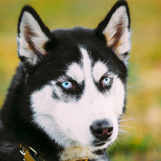 """Young Happy Husky Puppy Eskimo Dog"" stock image"