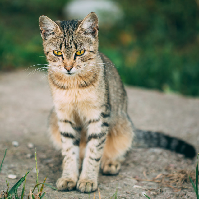 """Lonely, Sad, Homeless Cute Tabby Gray Cat Kitten Pussycat"" stock image"