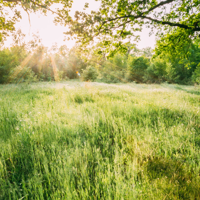 """Summer Sunny Forest Trees And Green Grass. Nature Woods In Sunlight"" stock image"