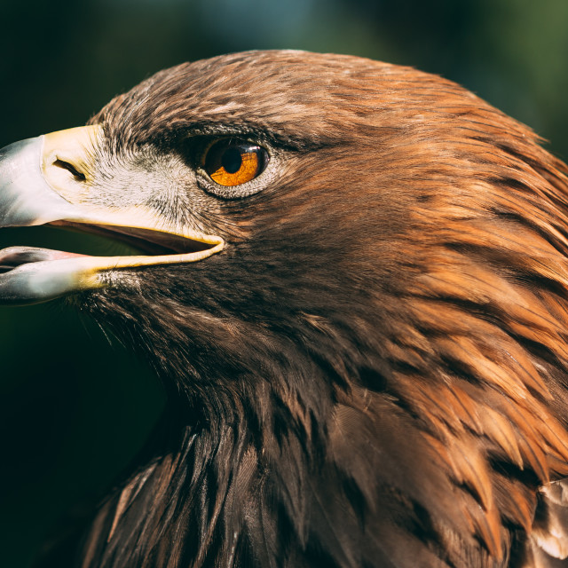 """Eagle Haliaeetus Albicilla On Green Grass Background. Wild Bird."" stock image"
