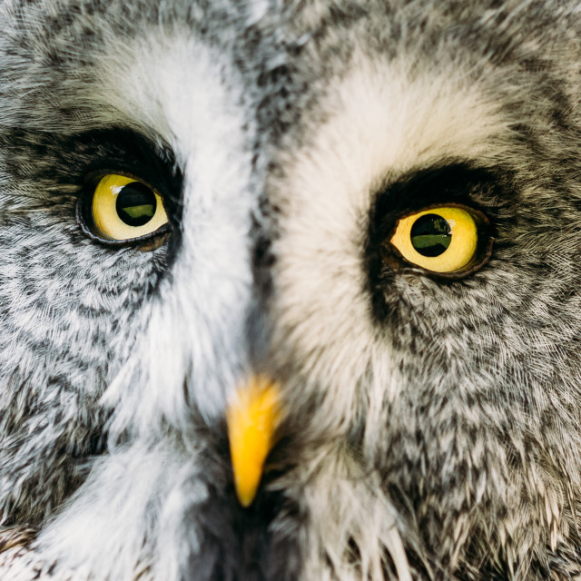 """Close Up Face And Eyes Of Great Grey Owl Or Great Gray Owl. Strix Nebulosa Is..."" stock image"