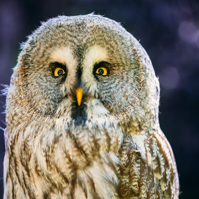 """Close Up Head, Face Of Great Grey Owl Or Great Gray Owl. Strix Nebulosa Is..."" stock image"