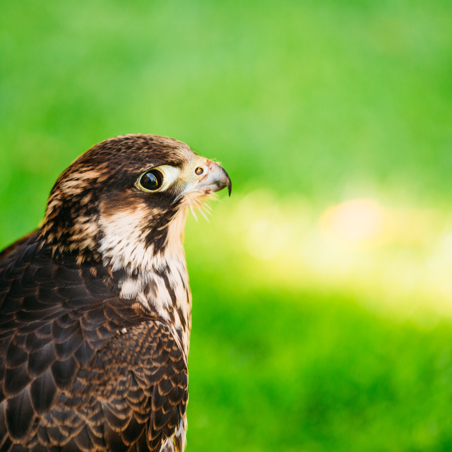 """Peregrine Falcon - Falco Peregrinus, Also Known As The Peregrine, And..."" stock image"