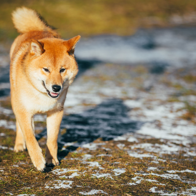 """Red Shiba Inu Puppy Dog Staying Outdoor In Spring"" stock image"