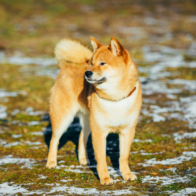 """Beautiful Red Shiba Inu Puppy Dog Staying Outdoor In Spring"" stock image"