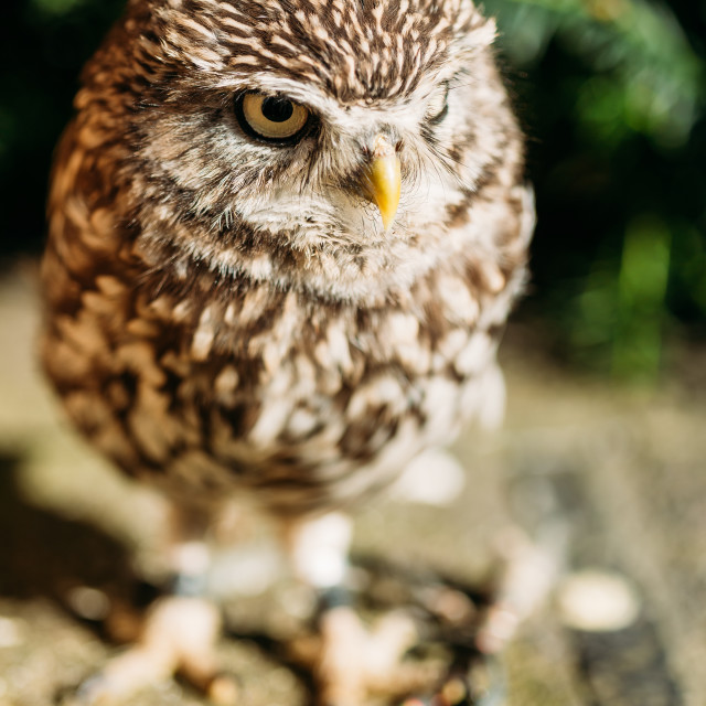 """The small owl. Wild bird"" stock image"