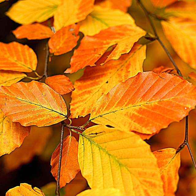 """""""Golden Leaves in Autumn"""" stock image"""