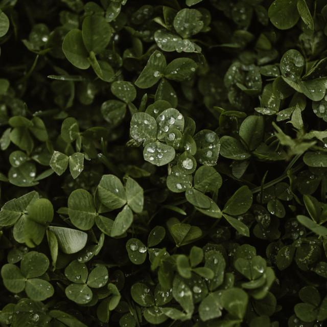 """drops of rain on clover"" stock image"