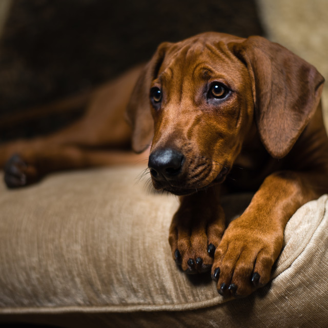 """Rhodesian Ridgeback puppy- On couch ii"" stock image"