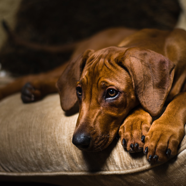 """Rhodesian Ridgeback puppy- On couch iv"" stock image"