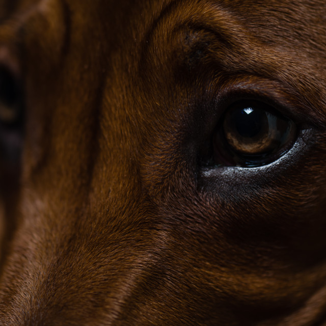 """Puppy close up-i-Rhodesian ridgeback puppy close up"" stock image"