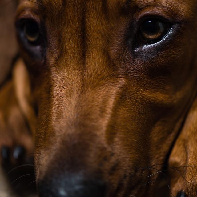 """Puppy close up-ii-Rhodesian ridgeback puppy close up"" stock image"