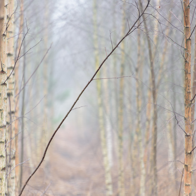 """Mind The Gap- Young silver birch trees in mist"" stock image"