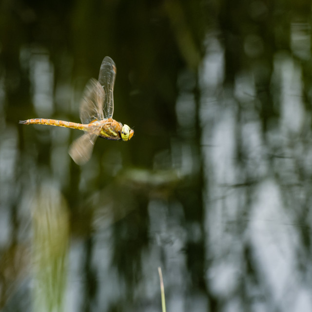 """Here be dragons. Norfolk hawker in flight"" stock image"