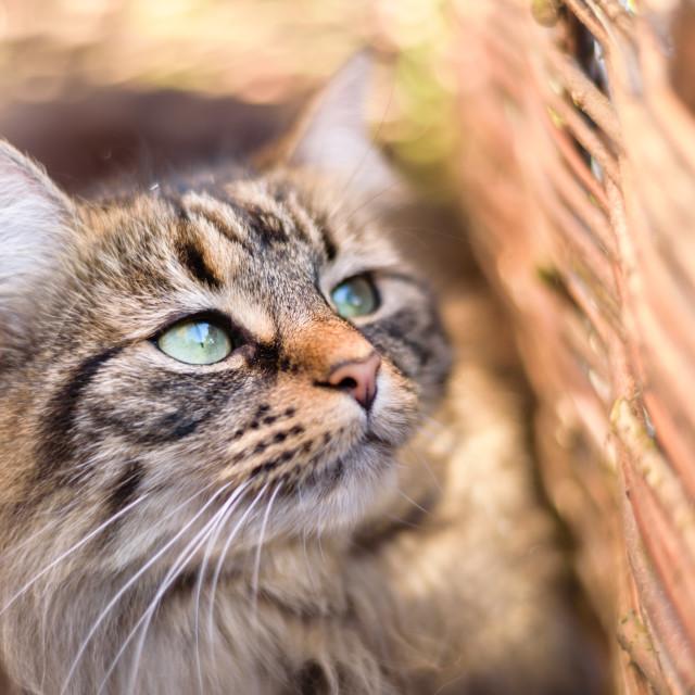 """Cat portrait in sunny basket i"" stock image"