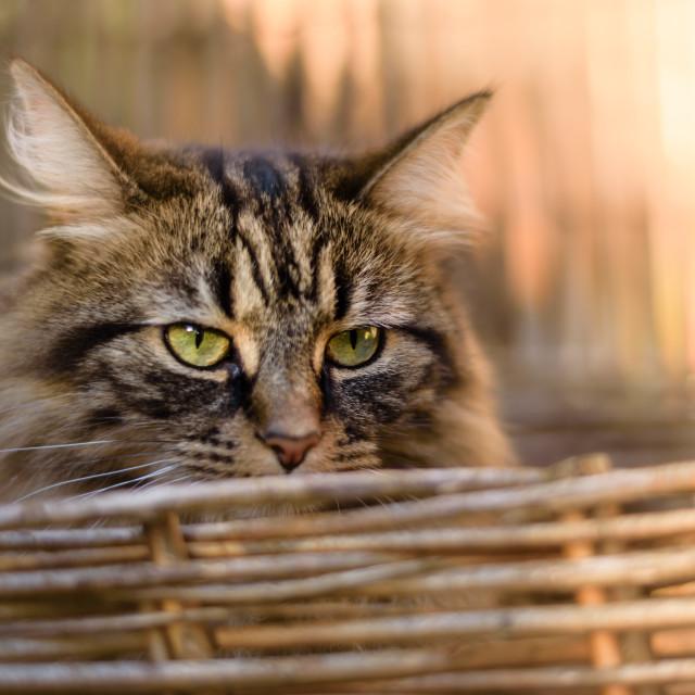 """Cat portrait in sunny basket iii"" stock image"