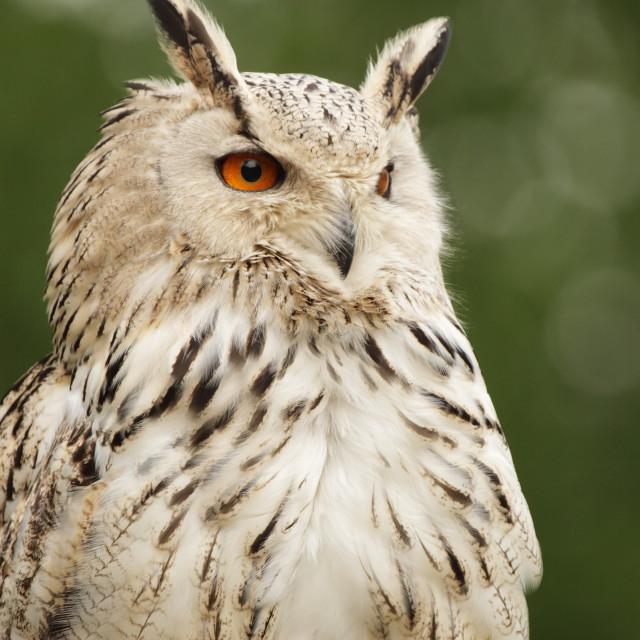 """Eagle Owl (Bubo bubo)"" stock image"