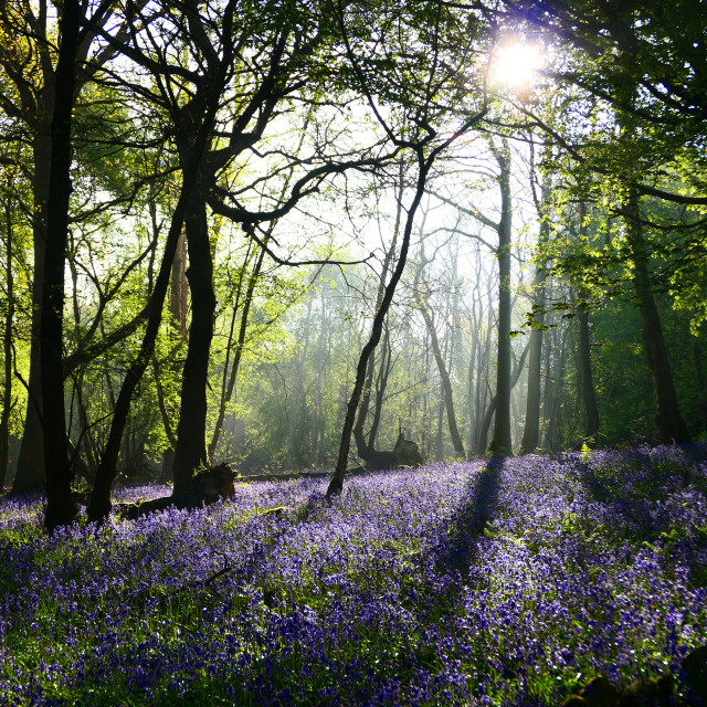 """Bluebells in a Sussex Wood"" stock image"