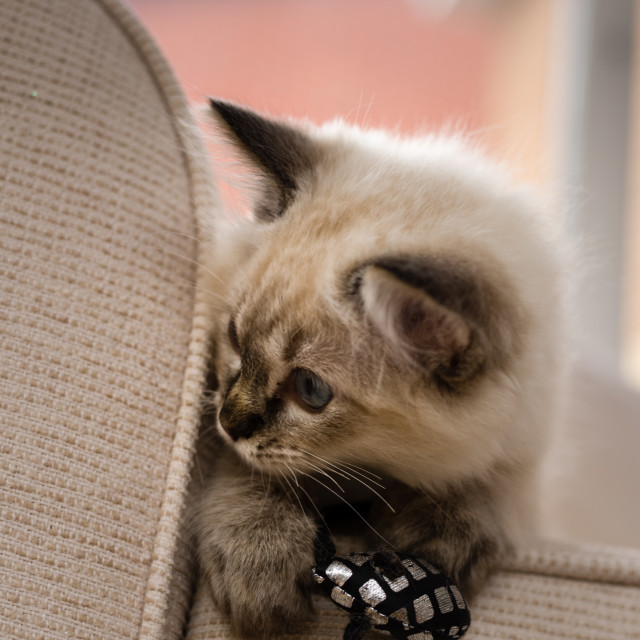 """Theo, Blue pointed ragdoll kitten at home i"" stock image"