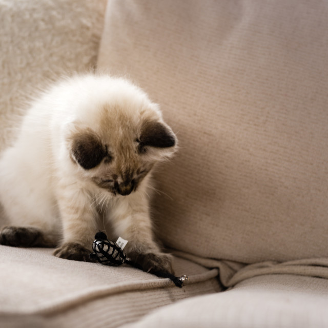 """Theo, Blue pointed ragdoll kitten at home ii"" stock image"