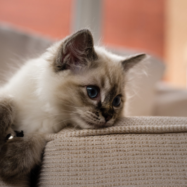 """Theo, Blue pointed ragdoll kitten at home iii"" stock image"