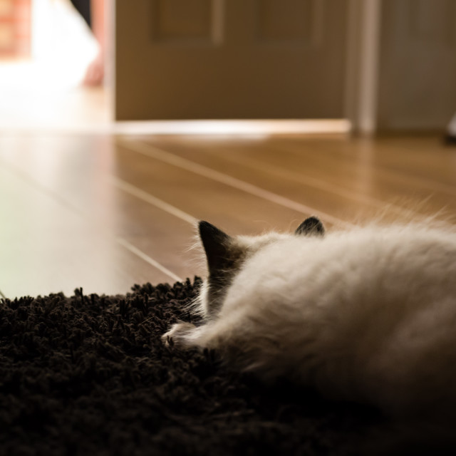 """Theo, Blue pointed ragdoll kitten at home v"" stock image"