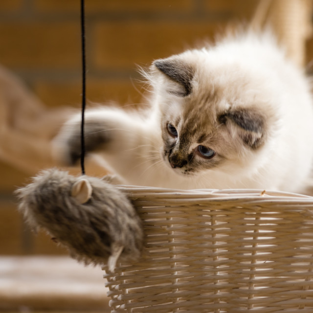 """Theo, Blue pointed ragdoll kitten at home xii"" stock image"