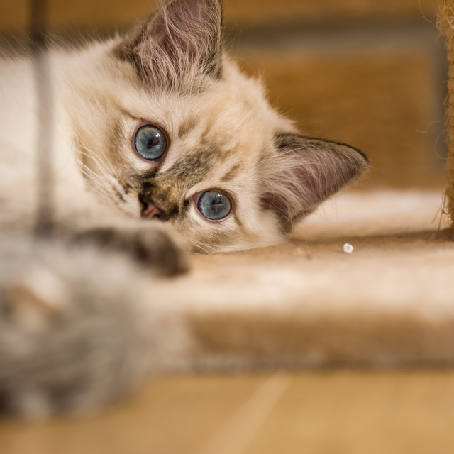 """Theo, Blue pointed ragdoll kitten at home xviii"" stock image"