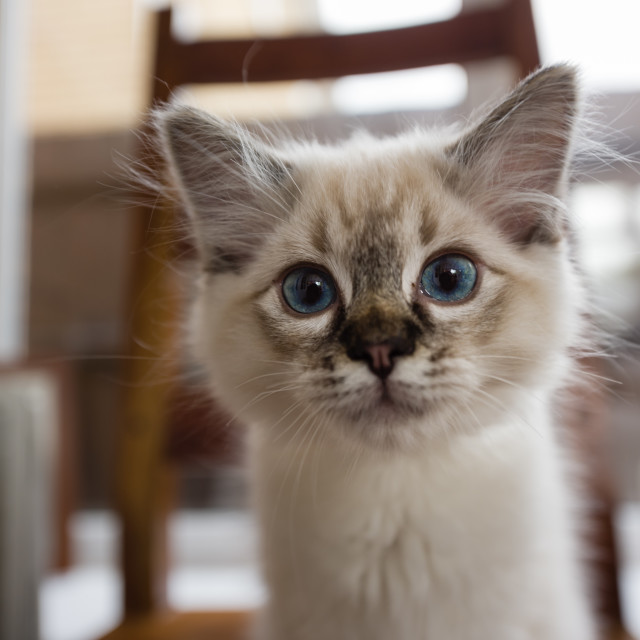 """Theo, Blue pointed ragdoll kitten at home xxiv"" stock image"