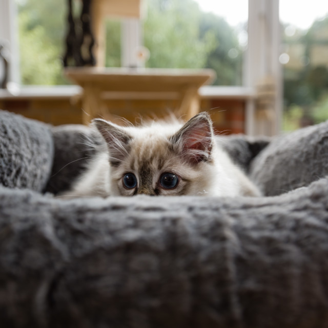 """Theo, Blue pointed ragdoll kitten at home xxvi"" stock image"