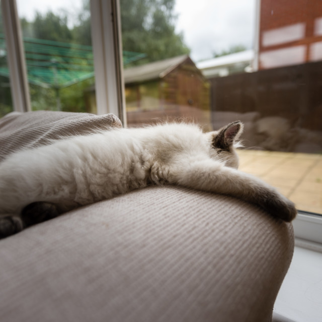 """Theo, Blue pointed ragdoll kitten at home xxix"" stock image"