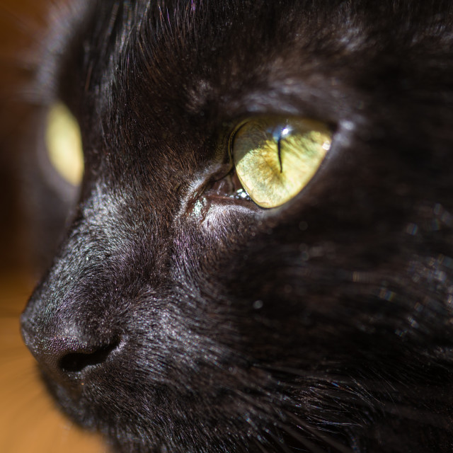 """Lola, black cat at home xxxi"" stock image"