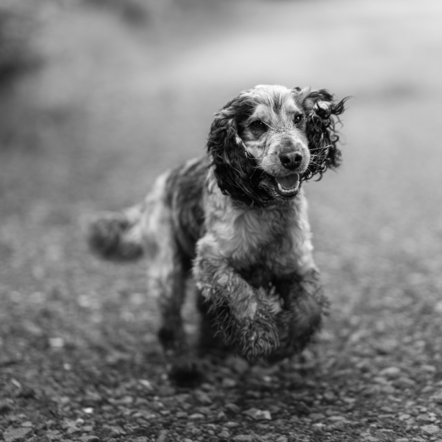 """Opie. Cocker spaniel running, mono"" stock image"
