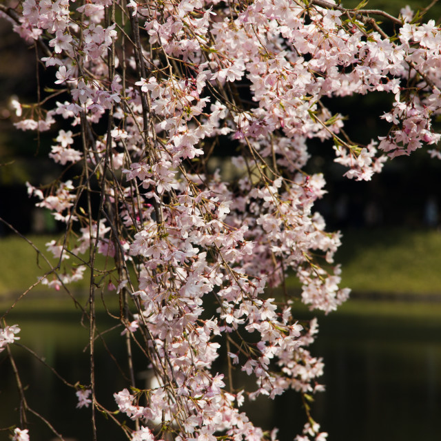 """Cherry blossom around the lake"" stock image"