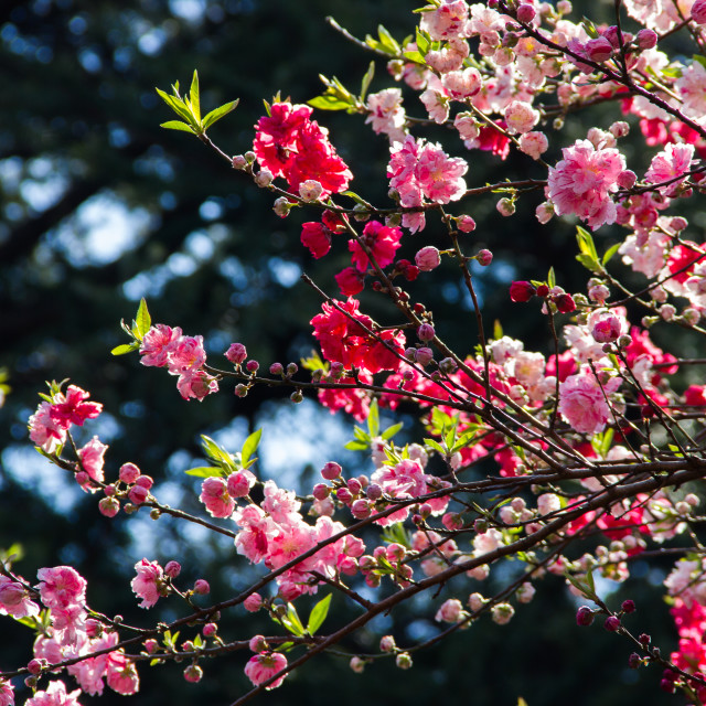 """Pink and Red Cherry blossom"" stock image"