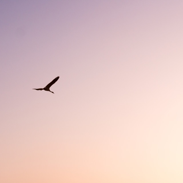 """Crane flying in pink skies"" stock image"