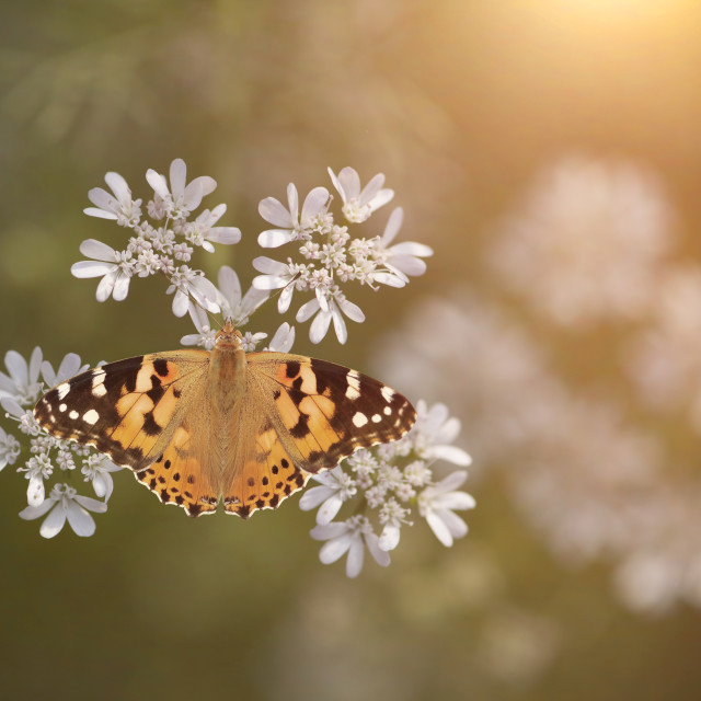 """Butterfly image from Above at sunrise"" stock image"