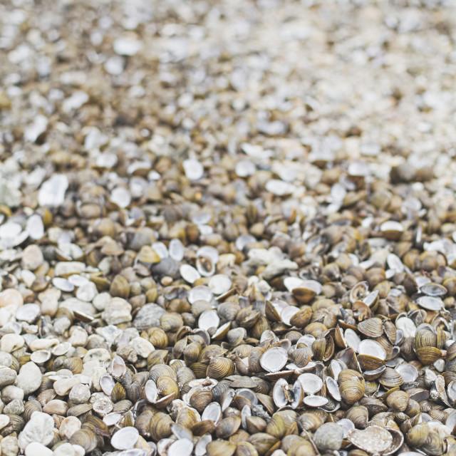 """Corbicula Fluminea Clam Shells"" stock image"