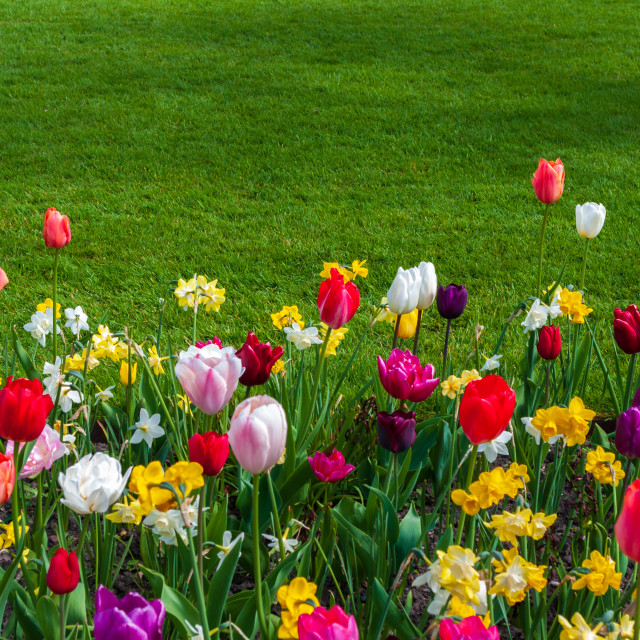 """Tulips and grass"" stock image"