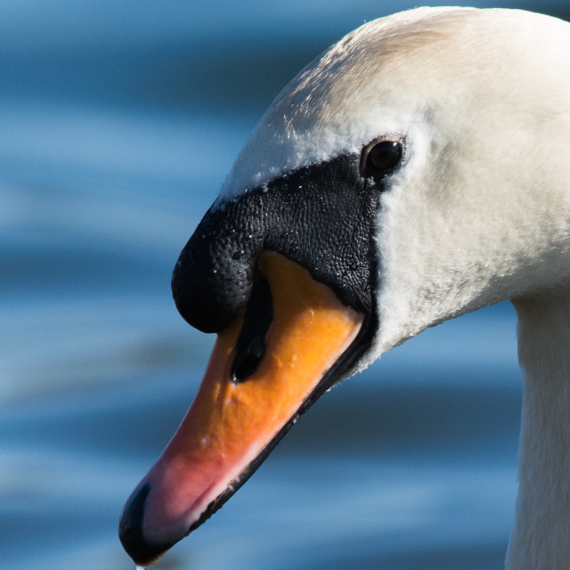 """Face of a Swan"" stock image"